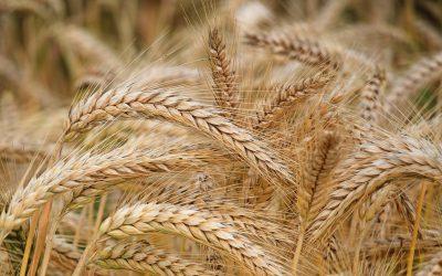 Azoto nelle colture di grano: ecco perché si moltiplicherebbe la celiachia nel mondo