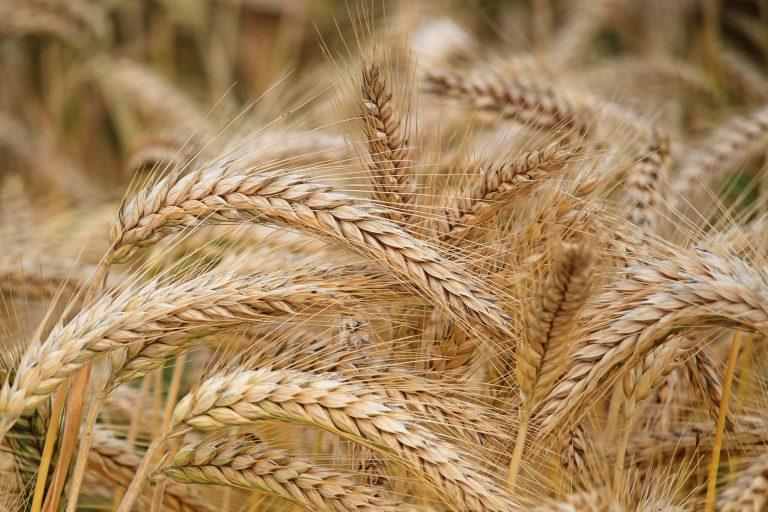 azoto nelle colture di grano